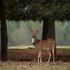 Sika Deer - Buck III