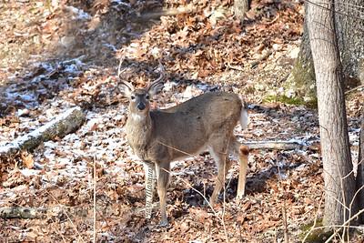 Buck 7437