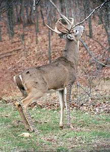 Buck 012