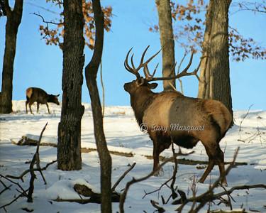 Elk #024