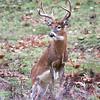 Buck 020