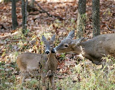 Deer 022