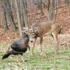 Deer & Turkey 011