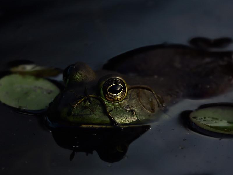 Alexandre_Lauzier_Le biologiste passe, la grenouille reste
