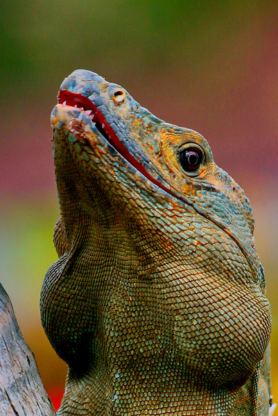 mechant iguane 1 gilbert pare