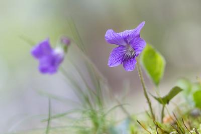 Normand_Taillon_Violettes