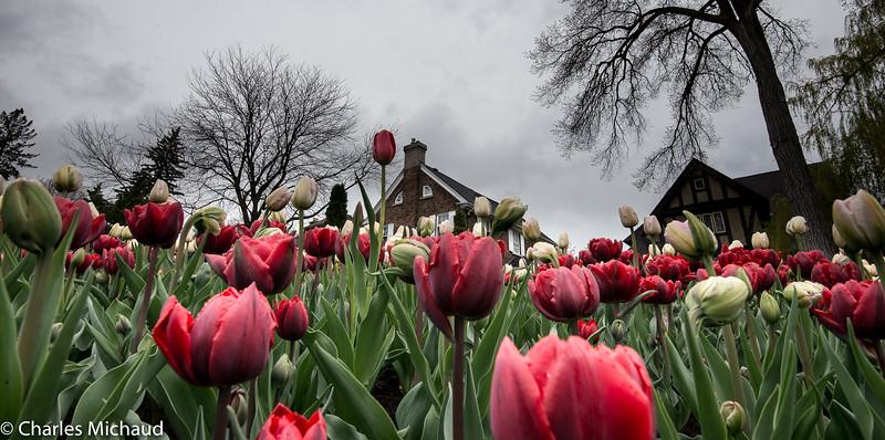 Tulipes 2017-2