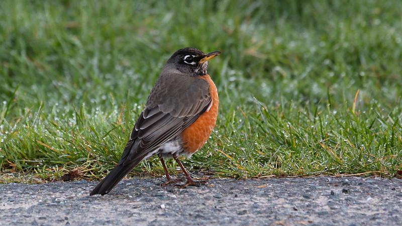 American Robin 2 at Elk Meadow