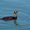 Pelagic Cormorant at Crescent City