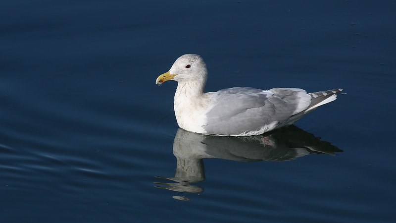 Glacous-winged Gull at Crescent City