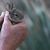 Baby Bunny in our yard