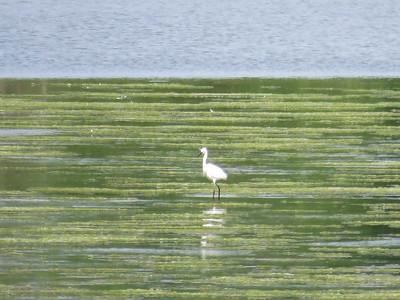 Little Egret, Bombay Hook NWR