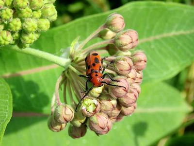 Red Milkweed Beetle on milkweed, Bombay Hook NWR