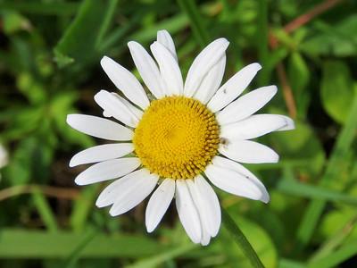 daisy, Bombay Hook NWR