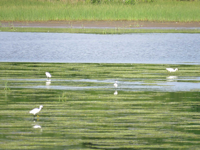Little Egret with Snowy Egrets, Bombay Hook NWR