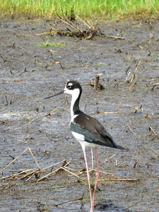 adult Black-necked Stilt, Bombay Hook NWR