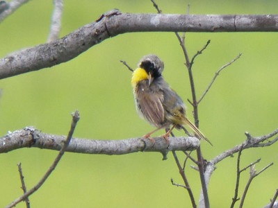 male Common Yellowthroat, Bombay Hook NWR, August 2013