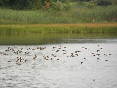 flying shorebirds, Bombay Hook NWR, August 2013