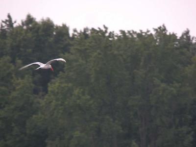 Caspian Tern, Bombay Hook NWR, August 2013