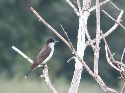 Eaetern Kingbird, Bombay Hook NWR, August 2013