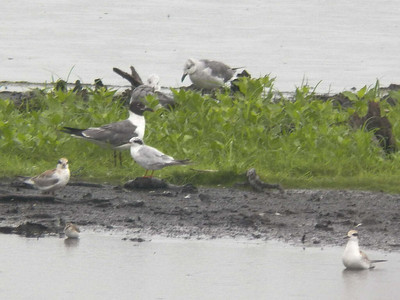 Laughing Gulls and Forster's Terns, Bombay Hook NWR, August 2013