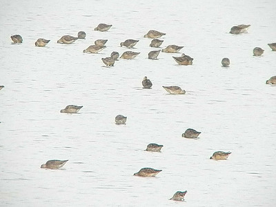 dowitchers, Bombay Hook NWR, August 2013