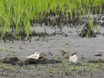 fledgling Forster's Terns, Bombay Hook NWR, August 2013