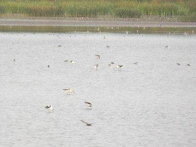 American Avocets and other shorebirds, Bombay Hook NWR, August 2013