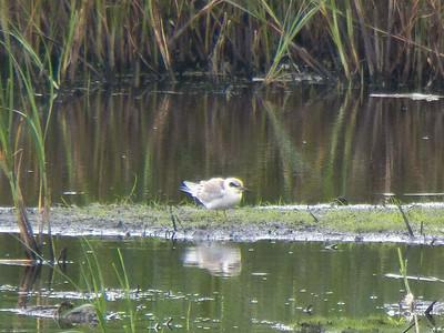 fledgling Forster's Tern, Bombay Hook NWR, August 2013