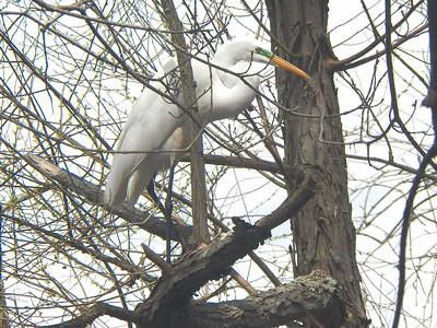 Great Egret, Bombay Hook NWR