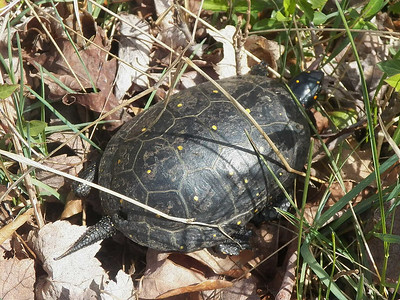 Spotted Turtle, Bombay Hook NWR