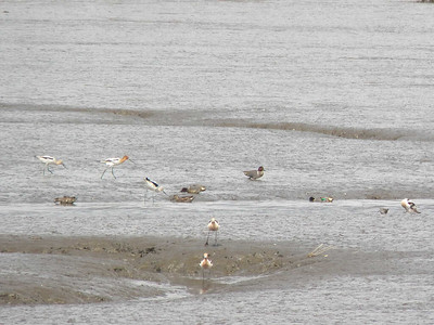 American Avocets and Green-winged Teal, Bombay Hook NWR