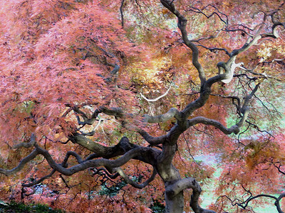Japanese Maple, November 6, 2016