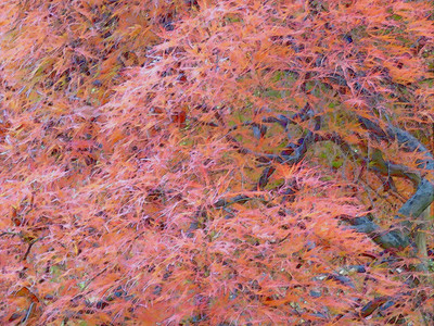 artistic filter applied to photo of a Japanese Maple, November 6, 2016