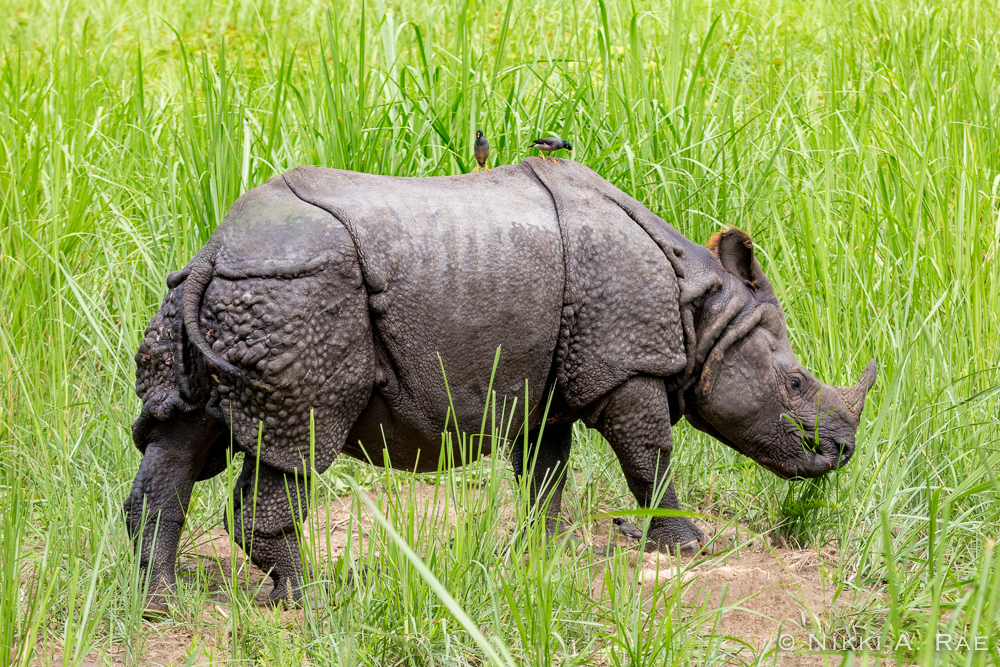 Chitwan Safari Intrepid 05 29 2017-49
