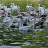 Ducks inside Lodhi garden lake, New Delhi, India