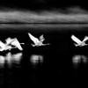 Swans Take Off - 4