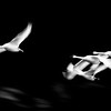 Swans in Flight - 31