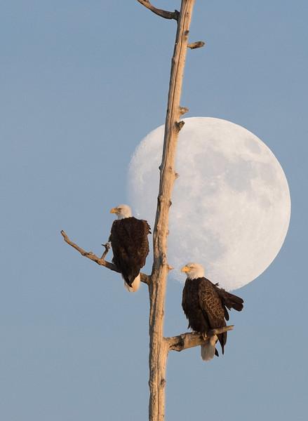 Bald Eagles and moon,  Blackwater NWR