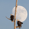 Bald Eagles and moon,  Blackwater NWR