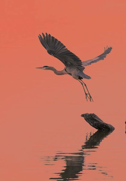 Great Blue Heron,  Blackwater NWR