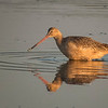 Marbled Godwit, Chincoteague NWR