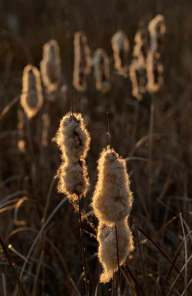 Backlit seed heads,  Blackwater NWR