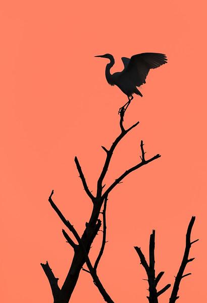 Egret silhouette, Chincoteague NWR