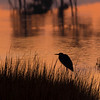Heron, Chincoteague NWR