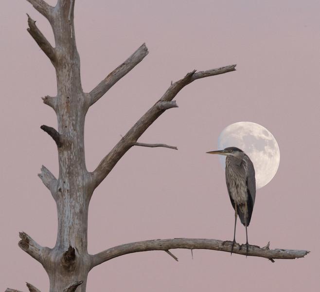 Great Blue Heron, Chincoteague NWR