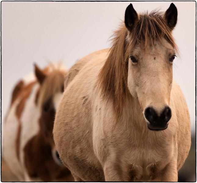 Ponies, Chincoteague NWR