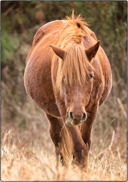 Pony, Chincoteague NWR