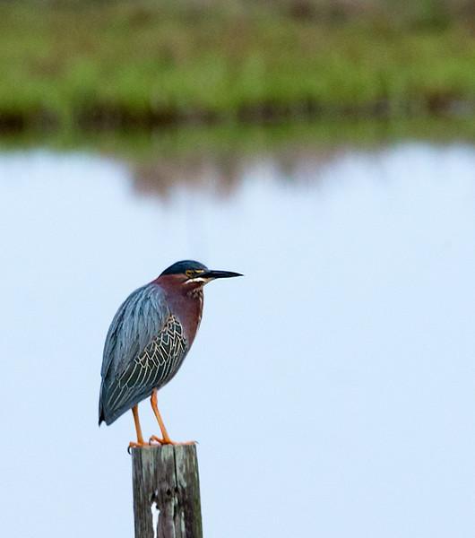 Green Heron, Chincoteague NWR
