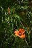 Papaver heterophyllum, wind poppy